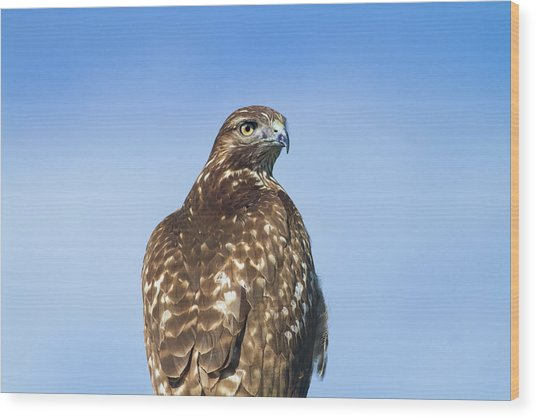 Red-tailed Hawk Perched Looking Back Over Shoulder Wood Print