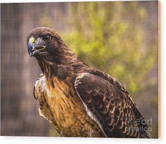 Red Tailed Hawk Profile 2 Wood Print