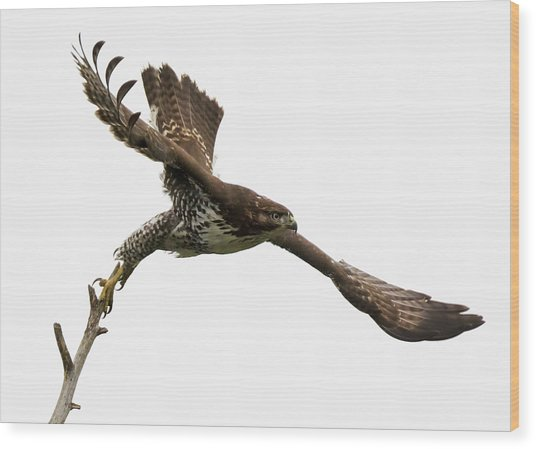 Red-tailed Hawk Swoosh Wood Print