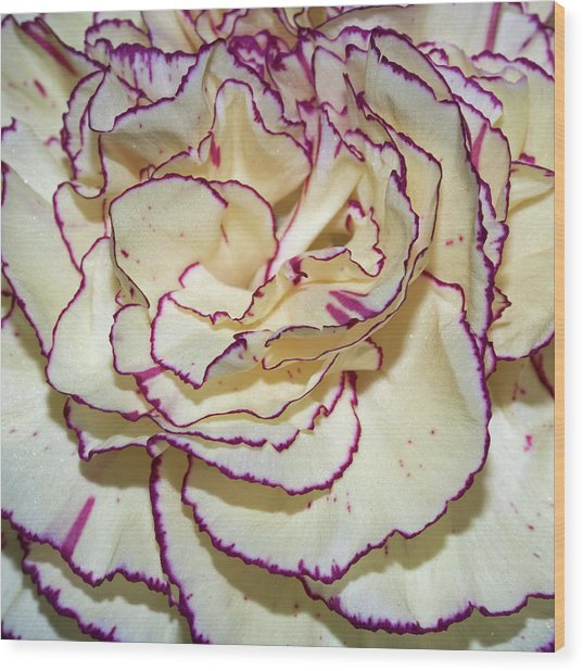 Red Tipped Carnation Wood Print