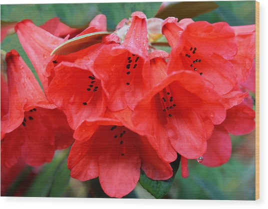 Red Trumpet Rhodies Wood Print