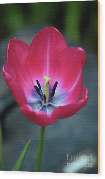 Red Tulip Blossom With Stamen And Petals And Pistil Wood Print