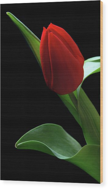 Red Tulip. Wood Print