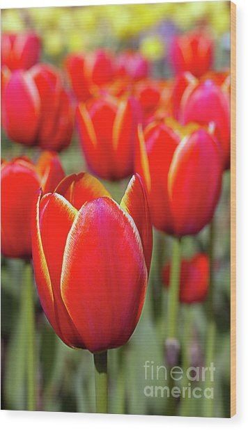 Red And Yellow Tulips I Wood Print