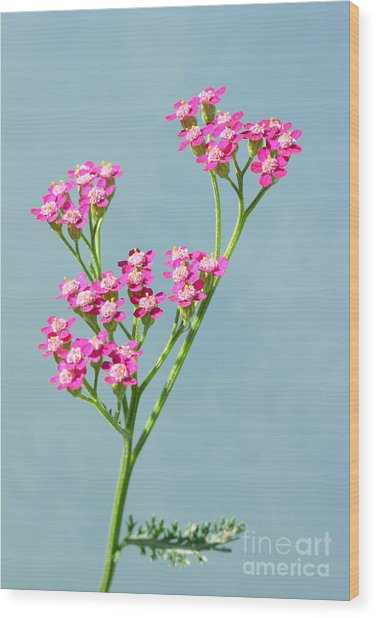Red Yarrow Wood Print