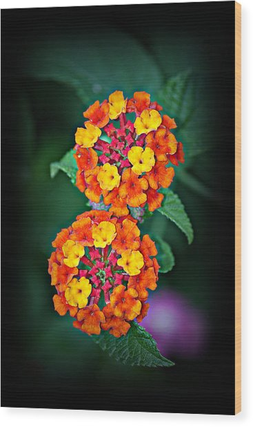 Red Yellow And Orange Lantana Wood Print