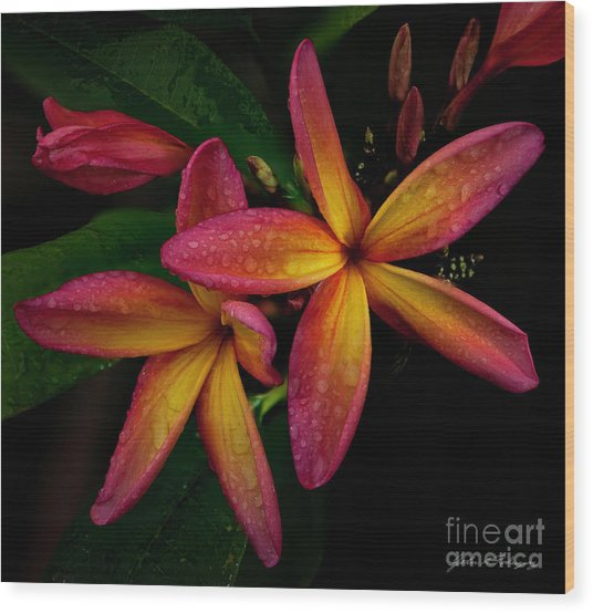 Red/yellow Plumeria In Bloom Wood Print