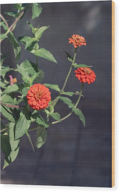 Red Zinnia Flowers Wood Print