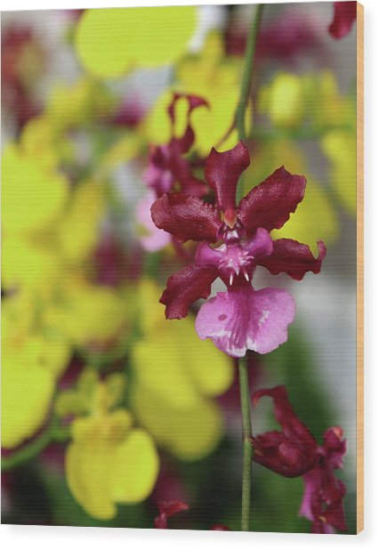 Maroon And Yellow Orchid Wood Print
