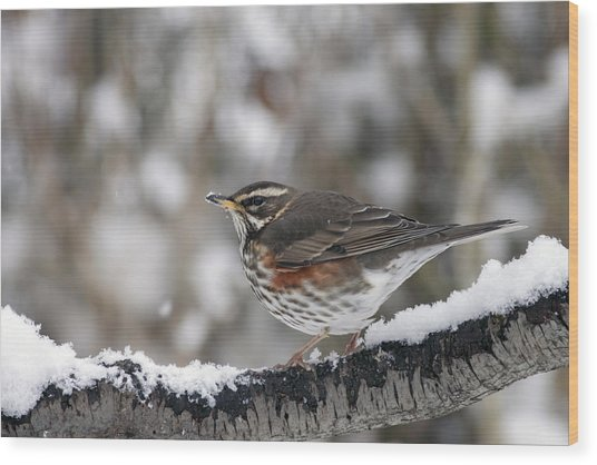 Redwing Perched On A Snowy Branch Wood Print