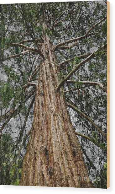 Redwood Reaches For The Sky Wood Print