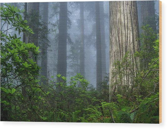 Redwoods In Blue Fog Wood Print