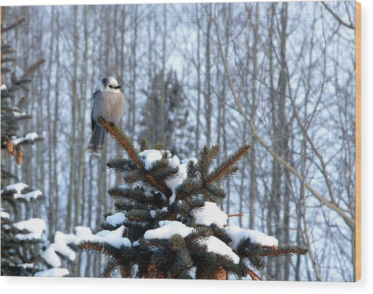 Refined Little Gray Jay In Colorado Wood Print
