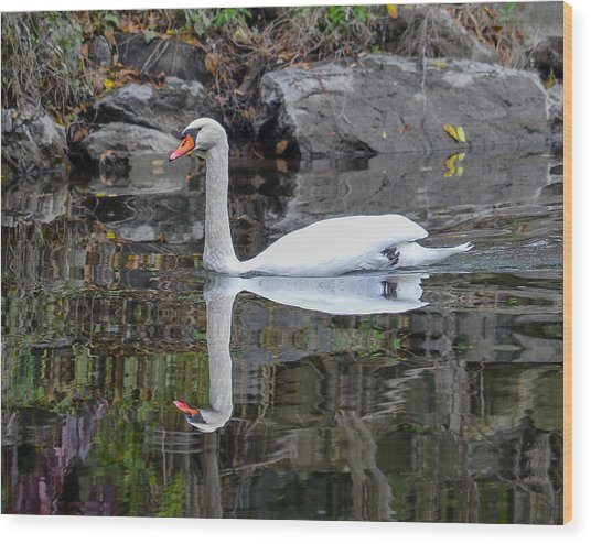 Reflecting Mute Swan Wood Print