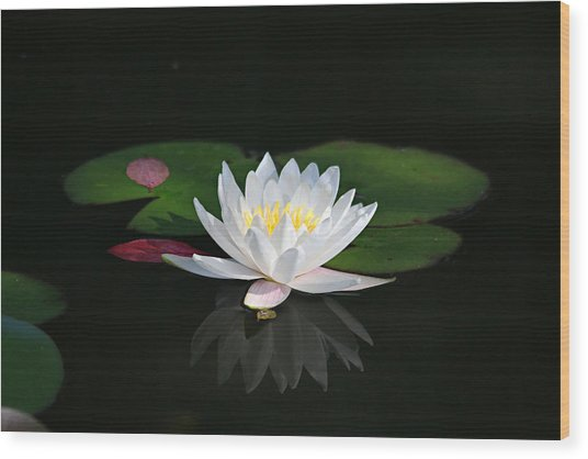 Reflections Of A Water Lily Wood Print
