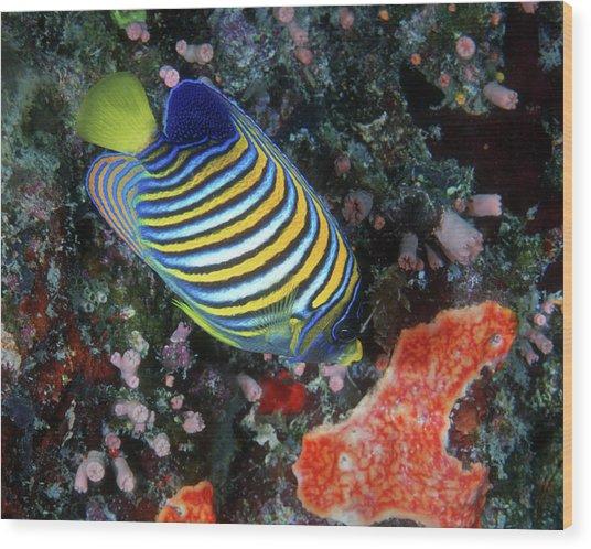 Regal Angelfish, Great Barrier Reef Wood Print