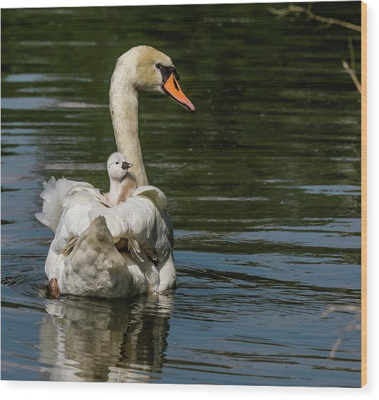 Regal Cygnet Wood Print