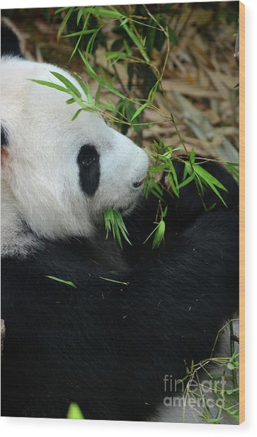 Relaxed Panda Bear Eats With Green Leaves In Mouth Wood Print