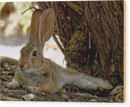 Relaxing Cottontail Wood Print