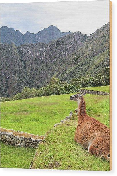 Relaxing Llama In Machu Picchu Wood Print