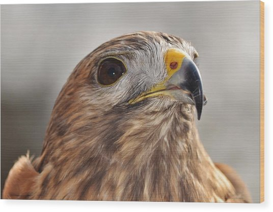 Rescued Hawk Wood Print