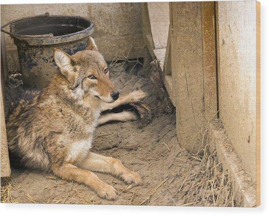 Resting Coyote Wood Print