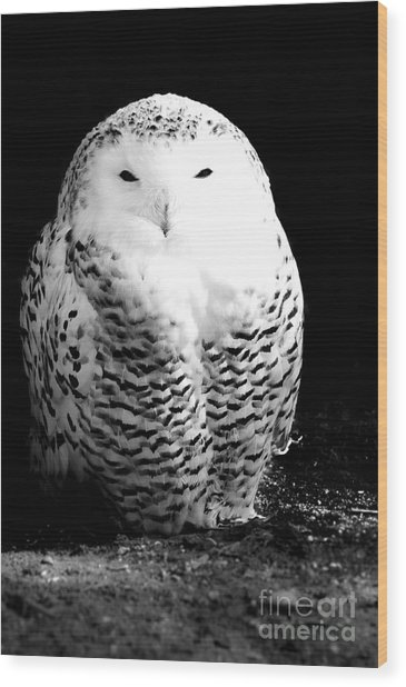 Resting Snowy Owl Wood Print by Darcy Michaelchuk