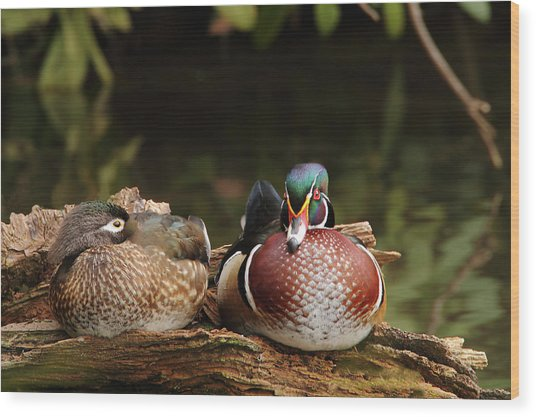 Resting Wood Ducks Wood Print
