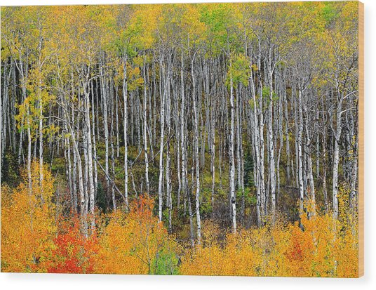 Return To The Aspen Forest Wood Print