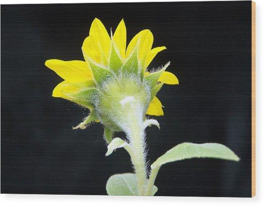 Reverse Sunflower Wood Print