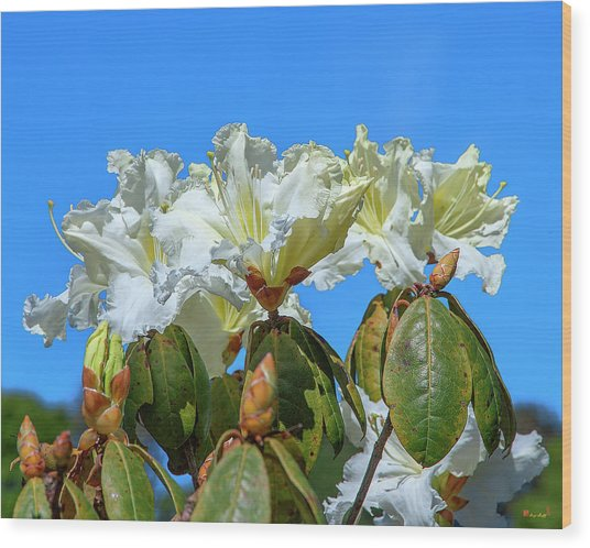 Rhododendron Ciliicalyx Dthn0213 Wood Print