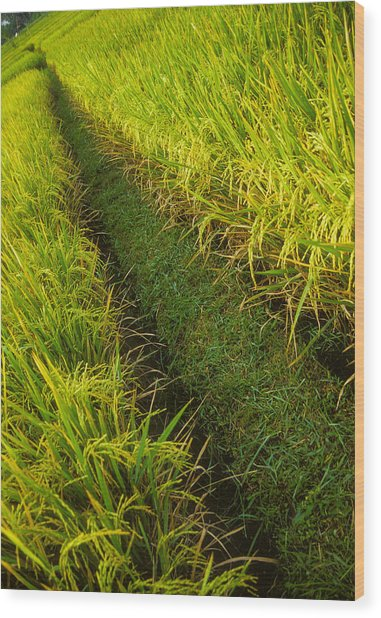 Rice Field Hiking Wood Print