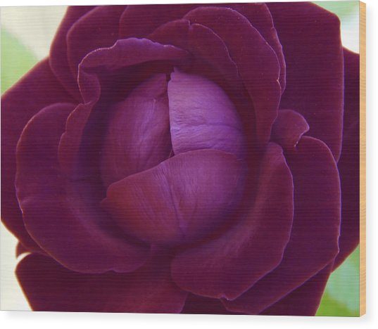 Rich Purple Lettuce Rose Wood Print