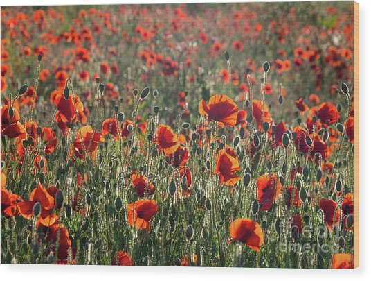 Rich Red Poppys Wood Print