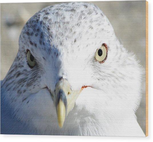 Ring Billed Gull Wood Print
