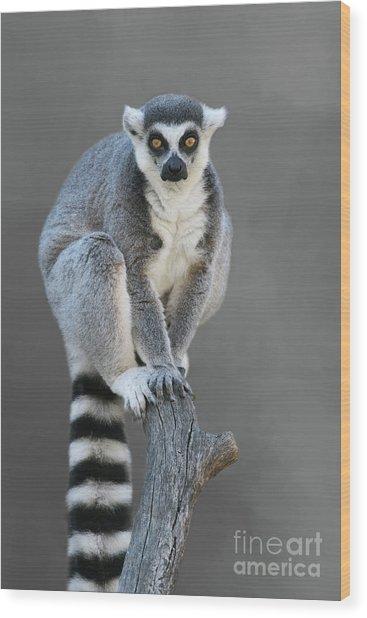 Ring-tailed Lemur #6 V2 Wood Print