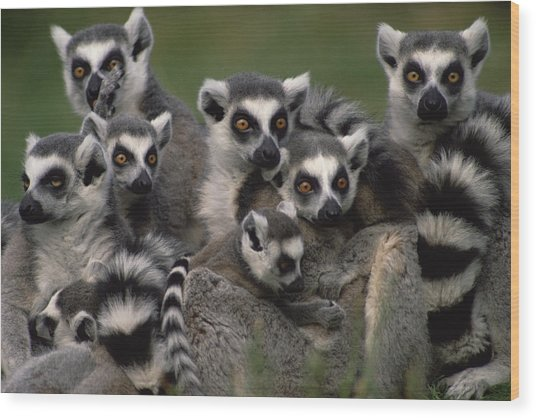Wood Print featuring the photograph Ring-tailed Lemur Lemur Catta Group by Gerry Ellis