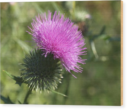 Roadside Thistle - 1 Wood Print