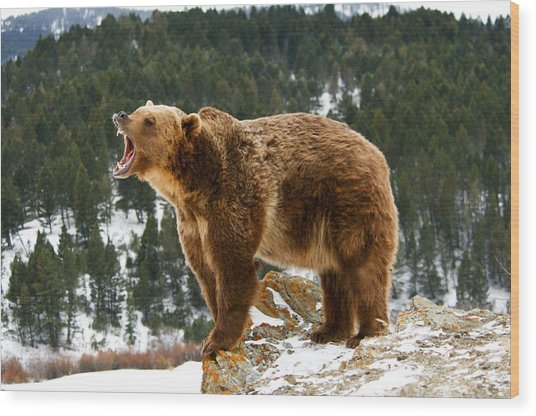 Roaring Grizzly On Rock Wood Print