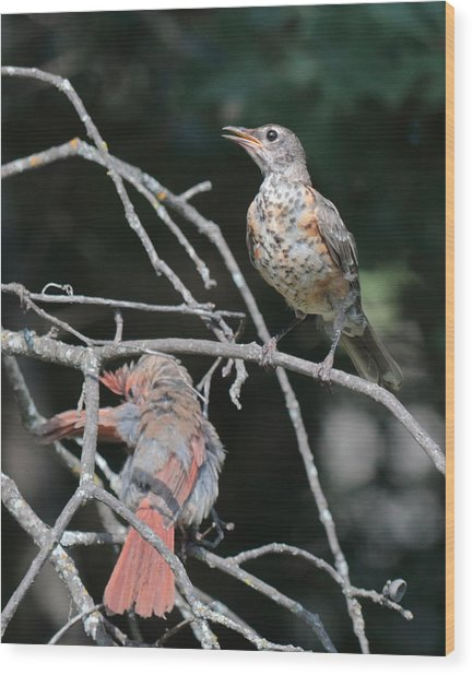Robin And Cardinal 2664 Wood Print