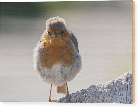 Robin Front Wood Print