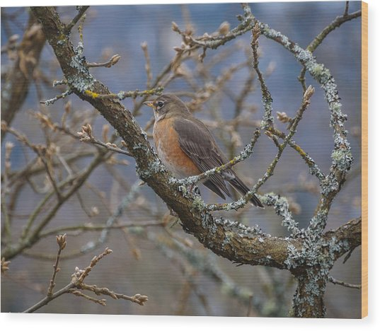 Robin In A Tree Wood Print