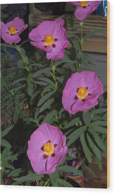 Rock Rose Orchid Wood Print by Bill Hyde