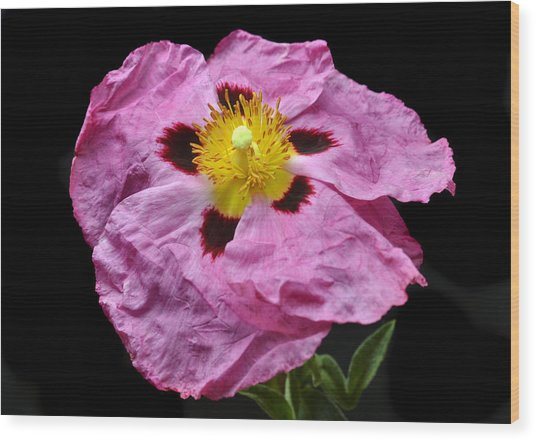 Rock Rose Wood Print by Terence Davis