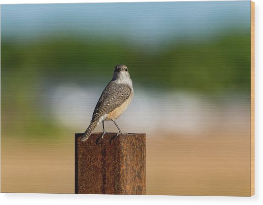 Rock Wren 1 Wood Print