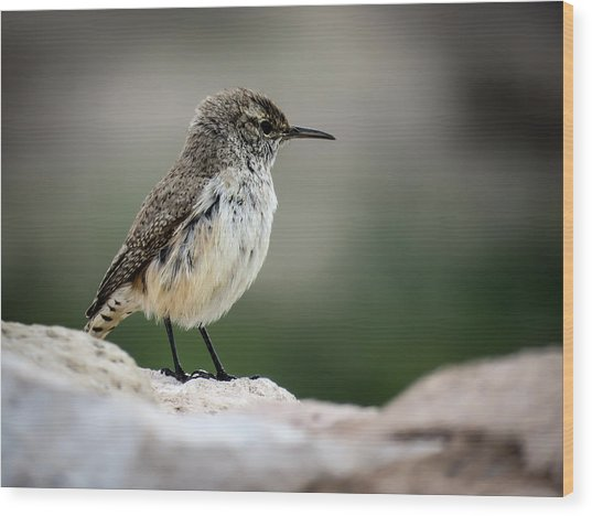 Rock Wren Wood Print