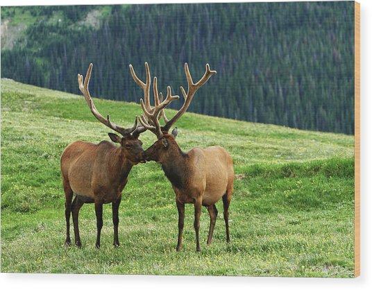 Rocky Mountain Elk 2 Wood Print