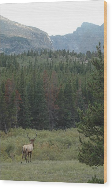 Rocky Mountain Elk Wood Print by Kathy Schumann