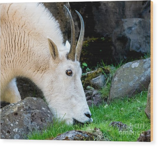 Rocky Mountain Goat Busy Eating Wood Print