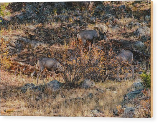 Rocky Mountain National Park Deer Colorado Wood Print